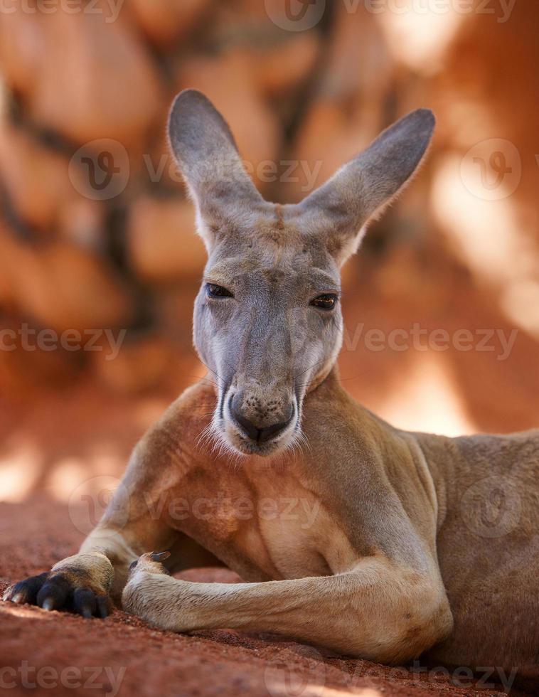 canguru foto