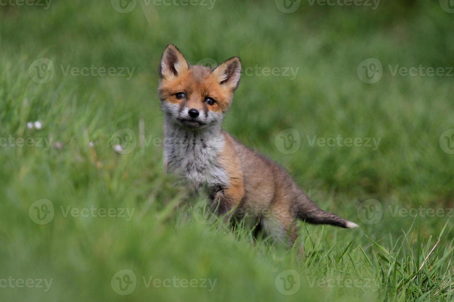 filhote de raposa curioso foto