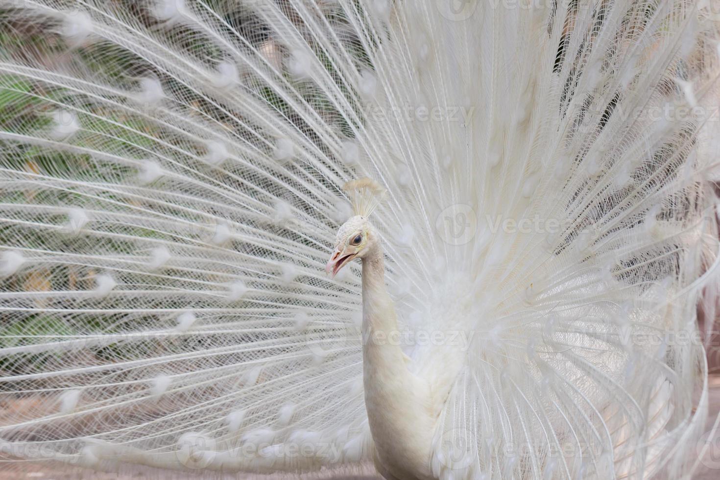 pavão branco com penas mostra vista lateral foto