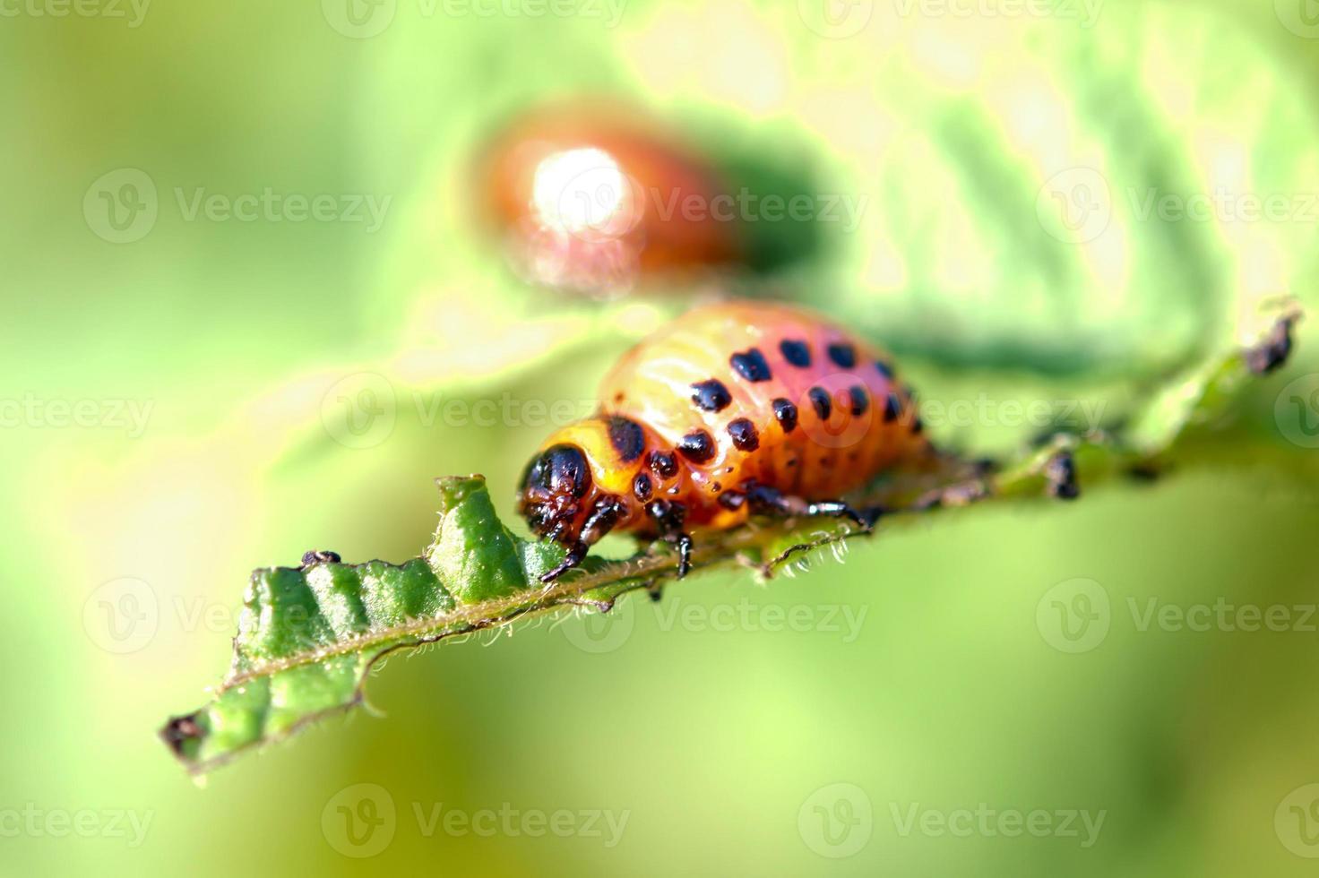larvas de besouros foto