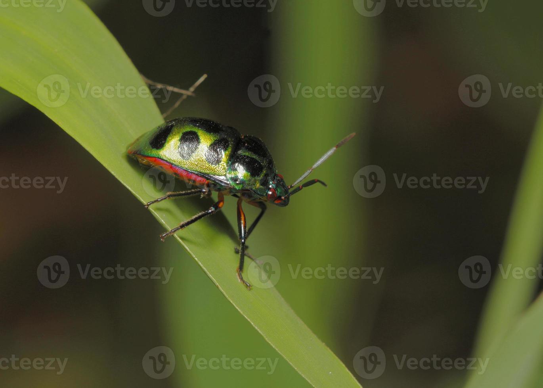 bug escudo foto