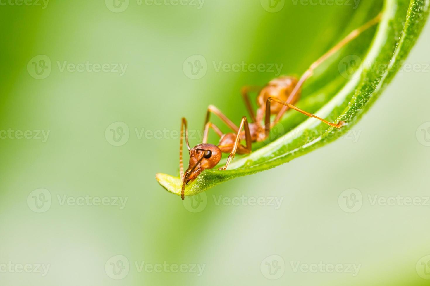 formiga vermelha na folha verde foto