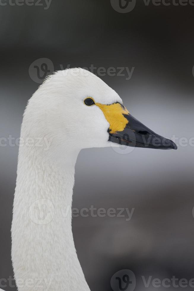 cisne bewicks, cygnus bewickii foto