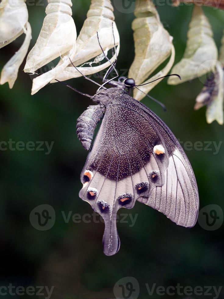 papilio palinurus, deixando a vista chrysalis.ventral. macro. foto