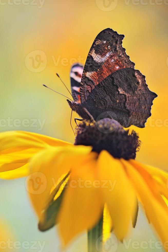 borboleta pavão (inachis io) foto