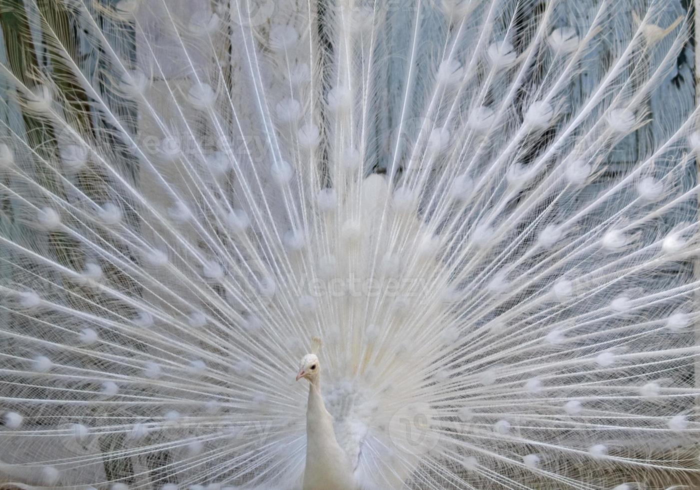 pavão branco foto
