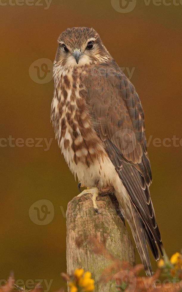 Merlin feminino [falco columbarius] no poste, país de gales, Reino Unido foto
