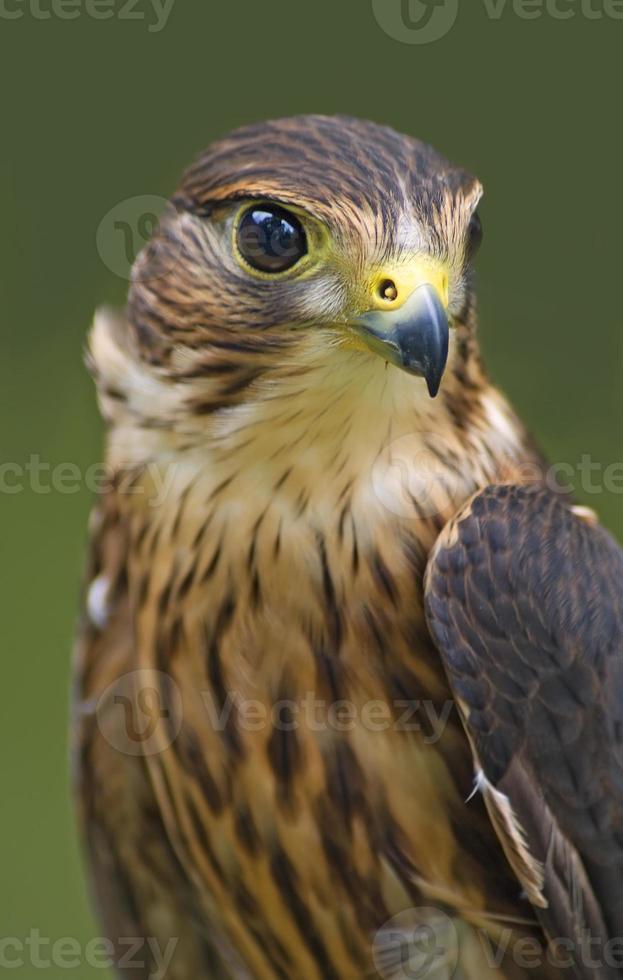 merlin (falco columbarius) foto