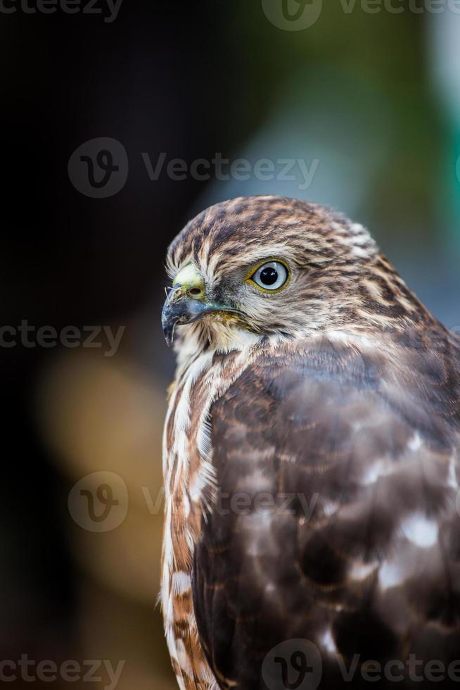 shikra falcon foto