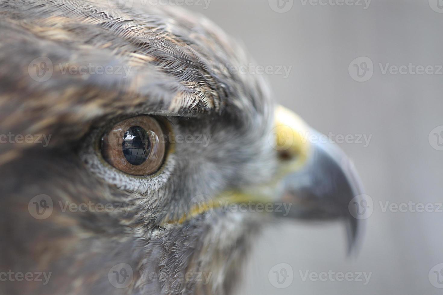 olhos da águia dourada foto