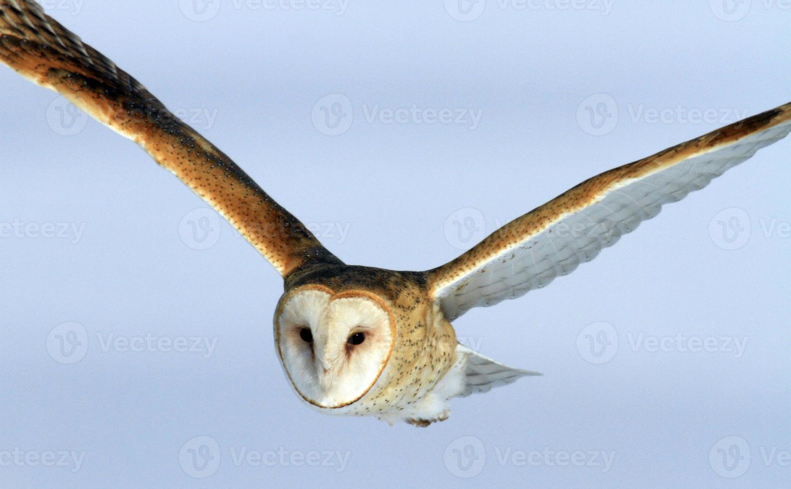 coruja de celeiro em voo farmington bay vida selvagem área utah foto