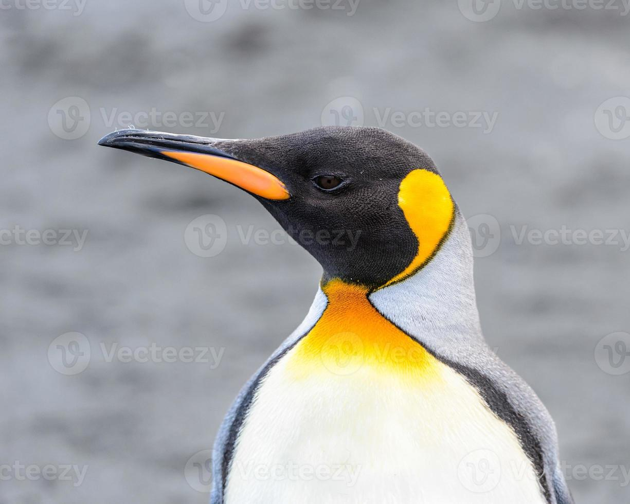 pinguins da geórgia do sul foto