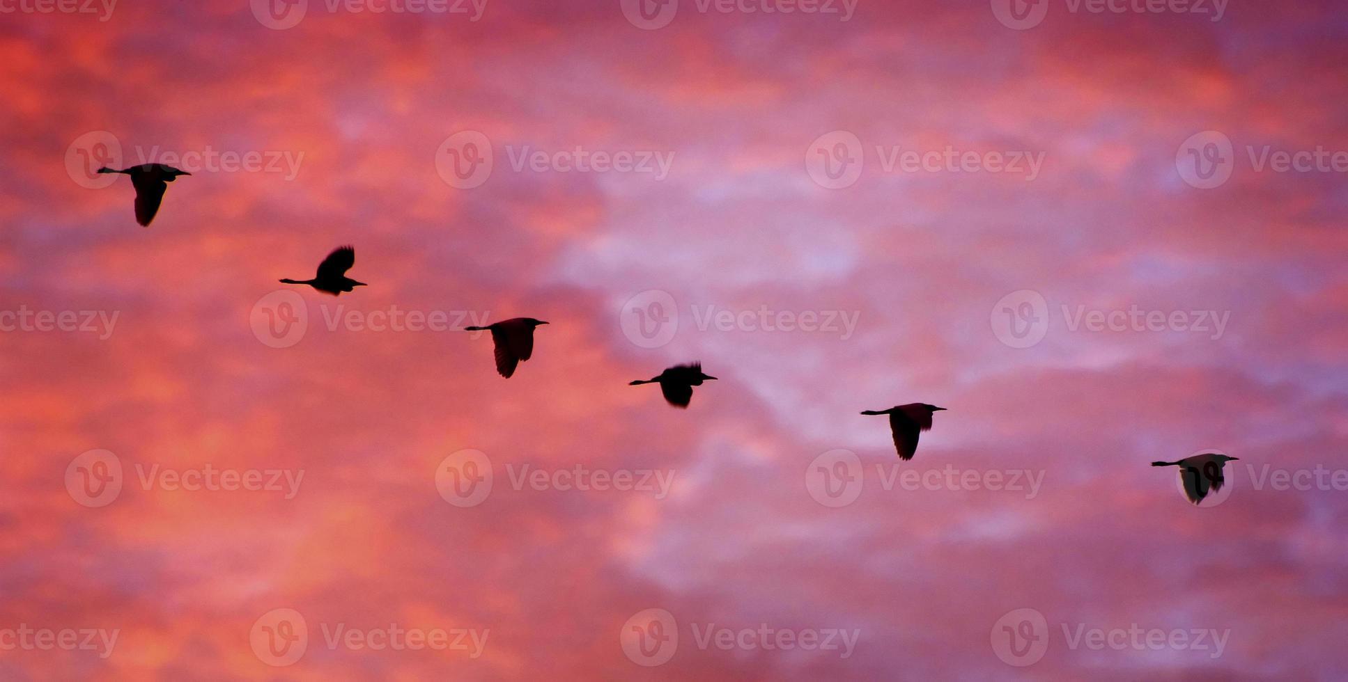 garças em vôo ao pôr do sol foto