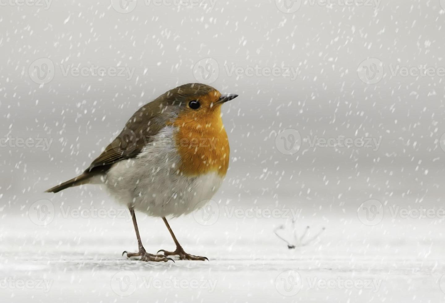 pisco de peito vermelho na neve foto
