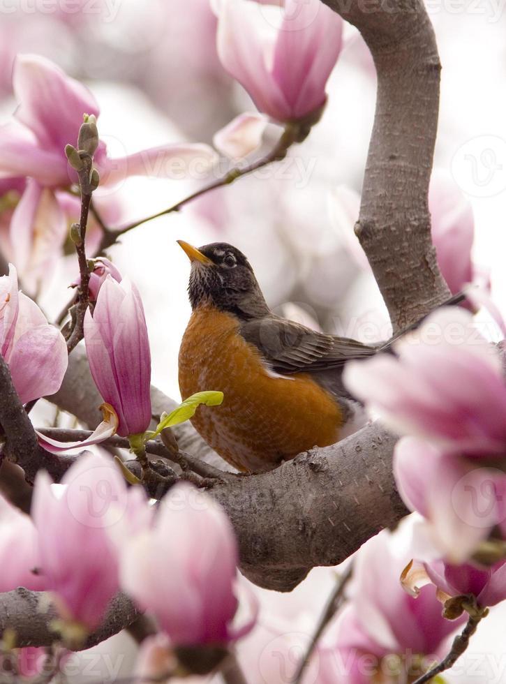 pisco de peito vermelho na primavera foto