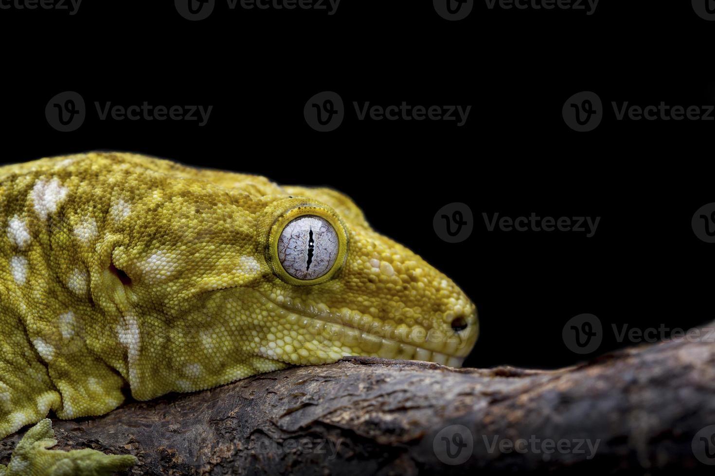 lagartixa leachianus foto