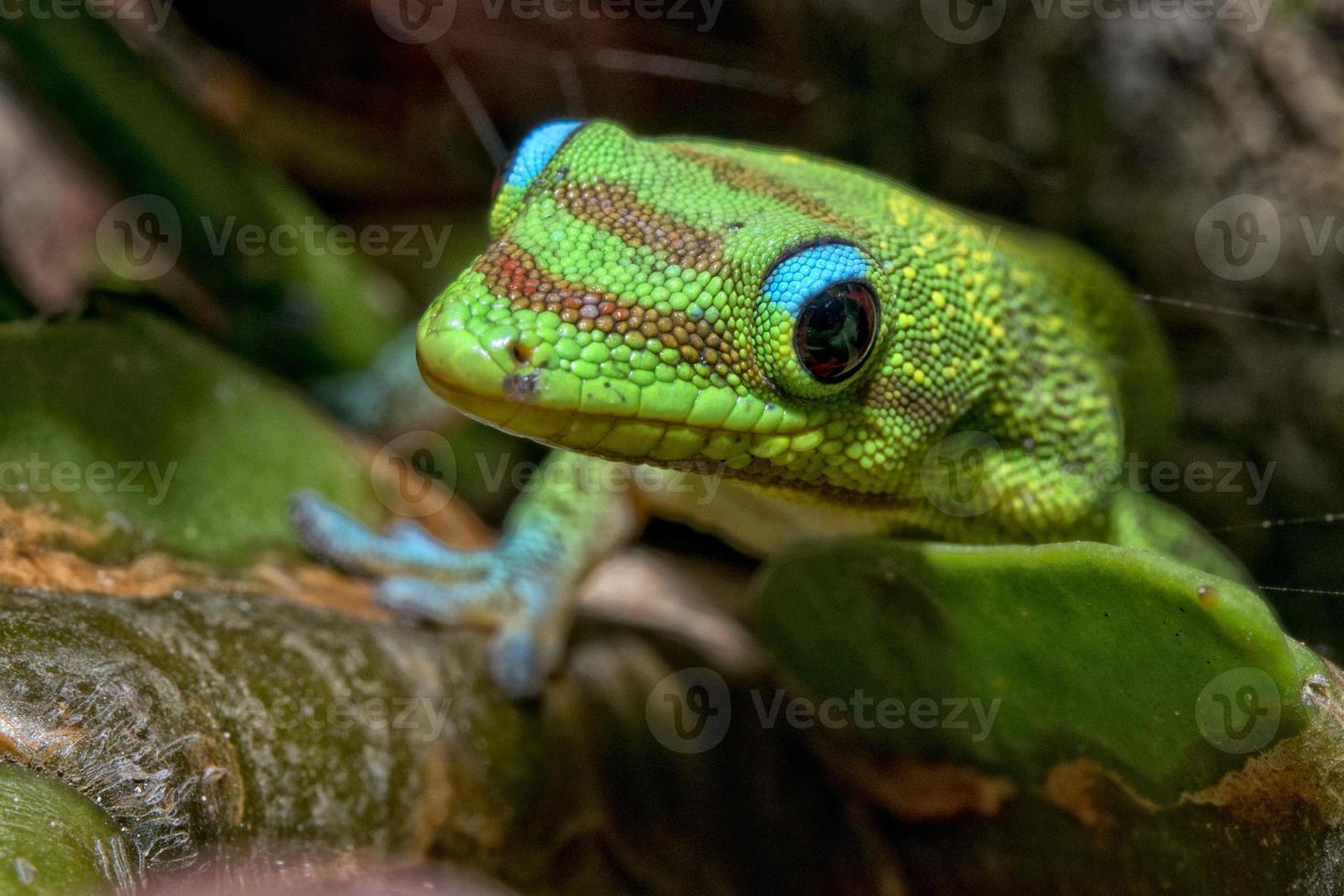 lagartixa verde vermelha e azul do dia da poeira de ouro de Havaí foto