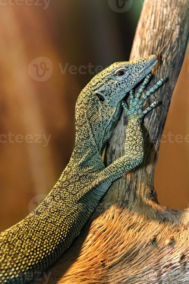 bebê dragão de komodo foto