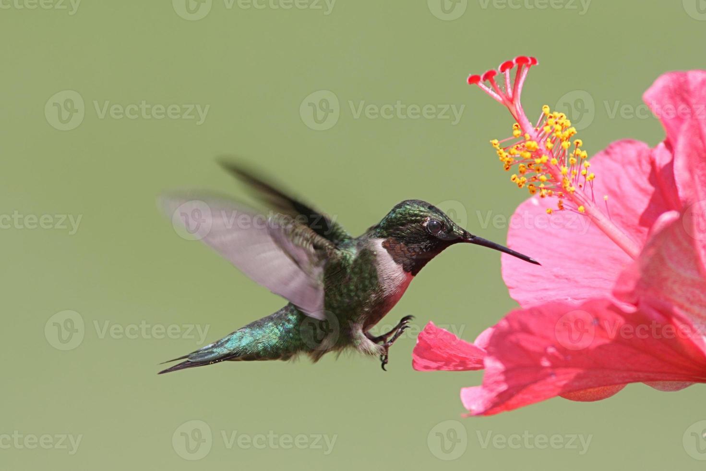 beija-flor-de-garganta-rubi foto