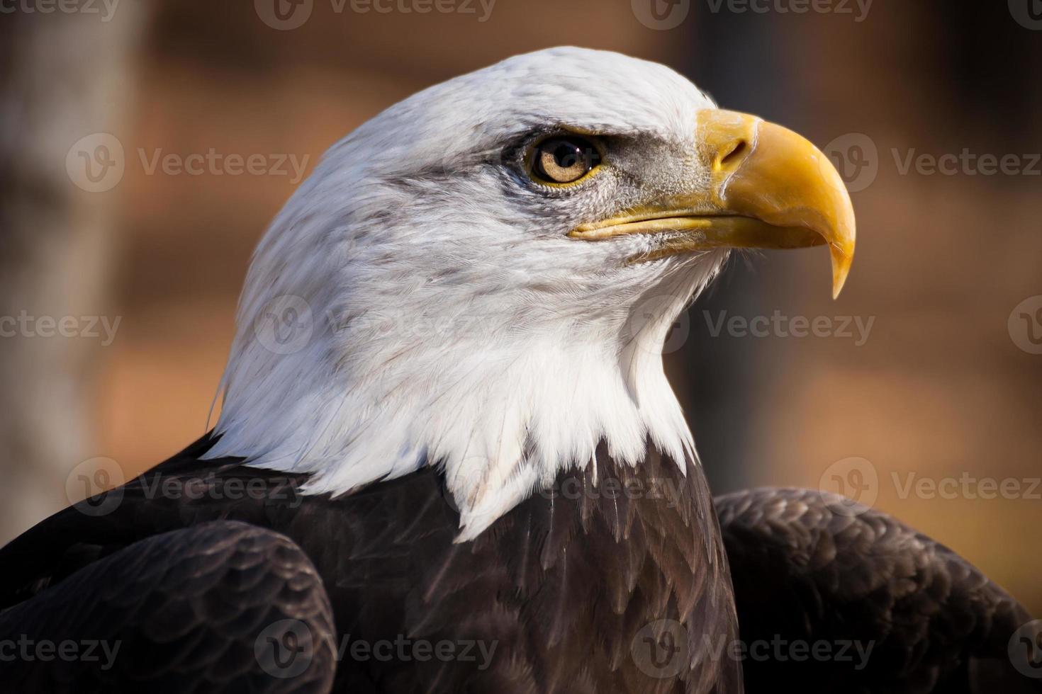 águia americana foto