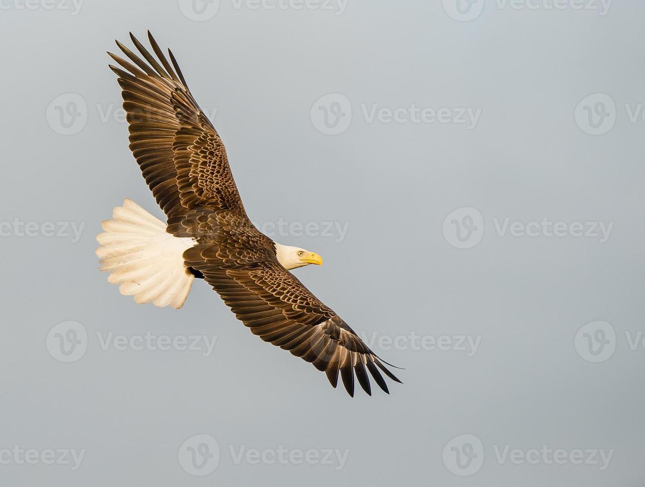 águia em vôo foto
