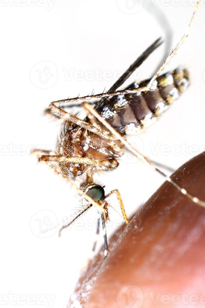 mosquito bebe sangue do homem foto
