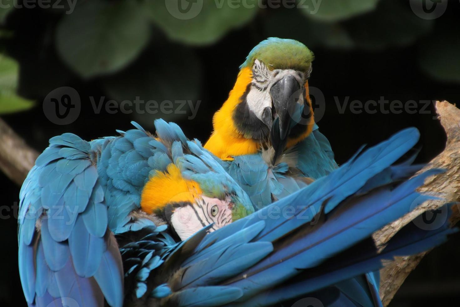 papagaios preening foto