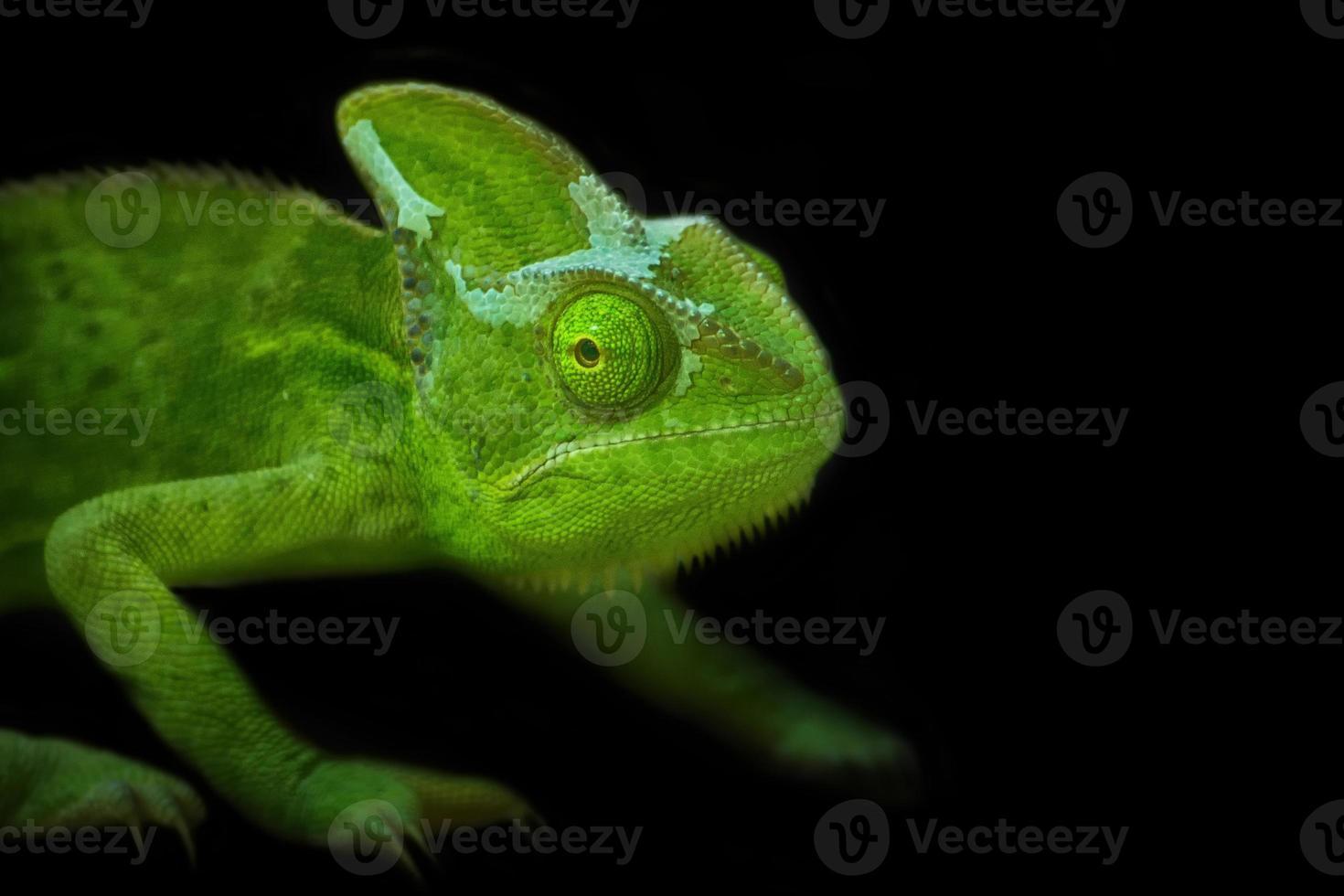 camaleão foto