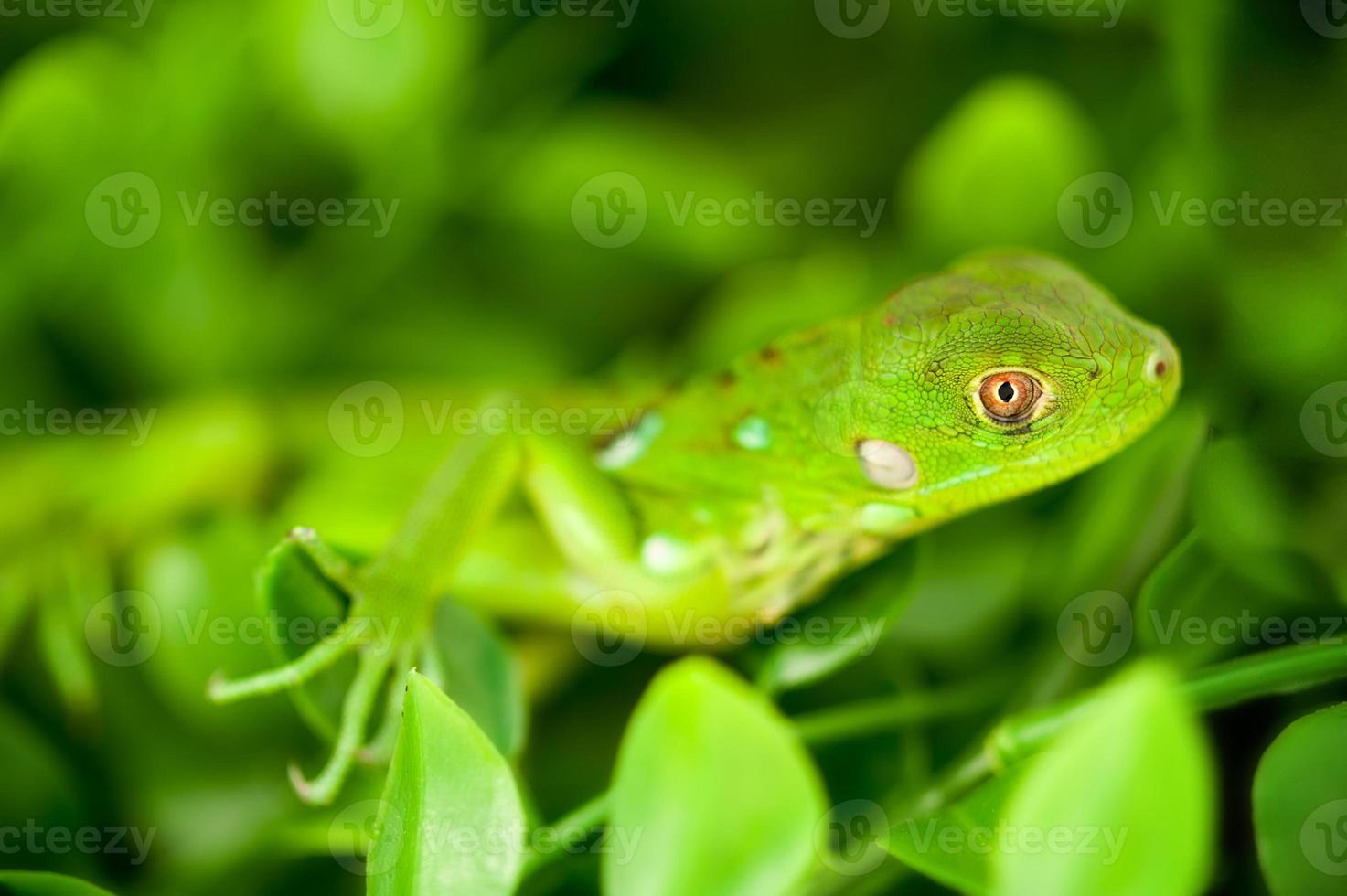 tiro na cabeça de uma iguana bebê verde foto