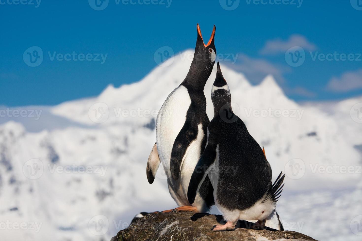 pinguins cantando foto