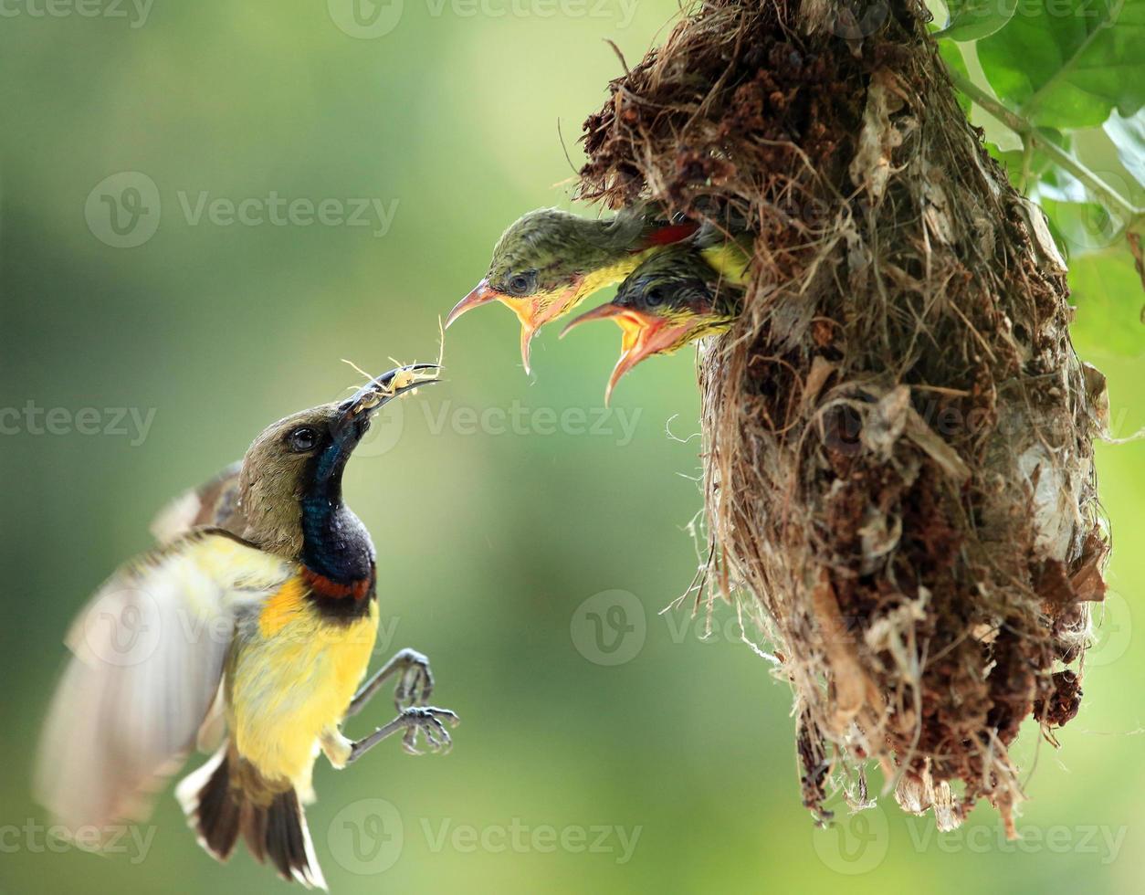 família sunbird apoiada em oliveiras foto