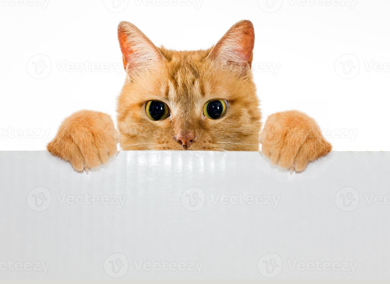 animal de estimação amarelo do gato do gengibre com cartão de nota foto