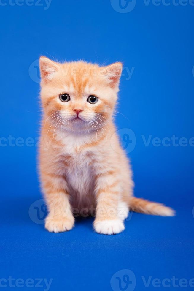 gato de raça pura escocês foto