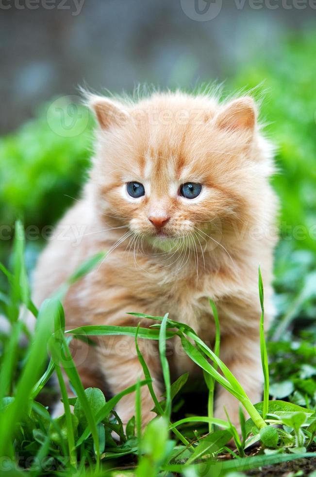 lindo gatinho ruivo foto