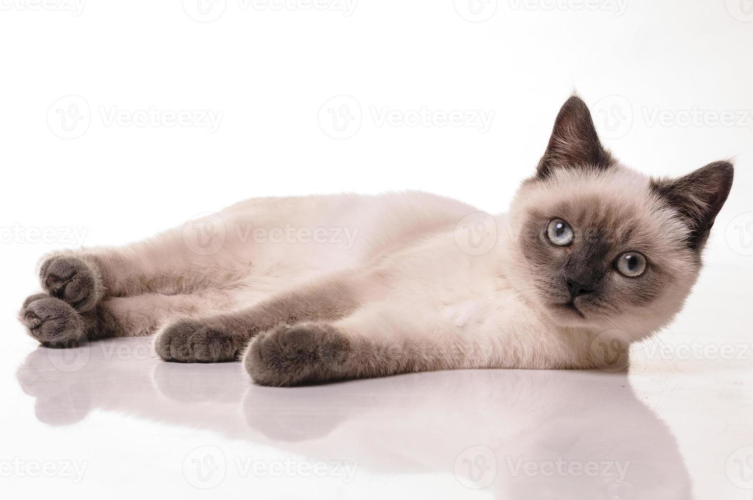 retrato de gato shorthair britânico foto