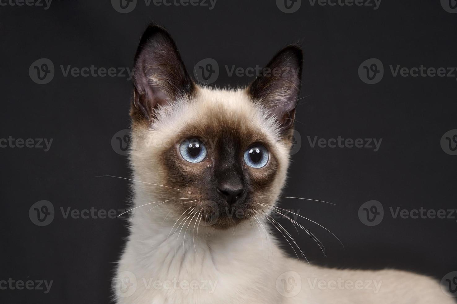 gatinho siamês em um fundo escuro foto