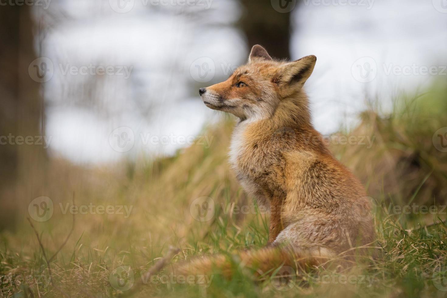 raposa vermelha selvagem foto