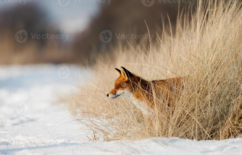 raposa vermelha em uma paisagem de neve foto