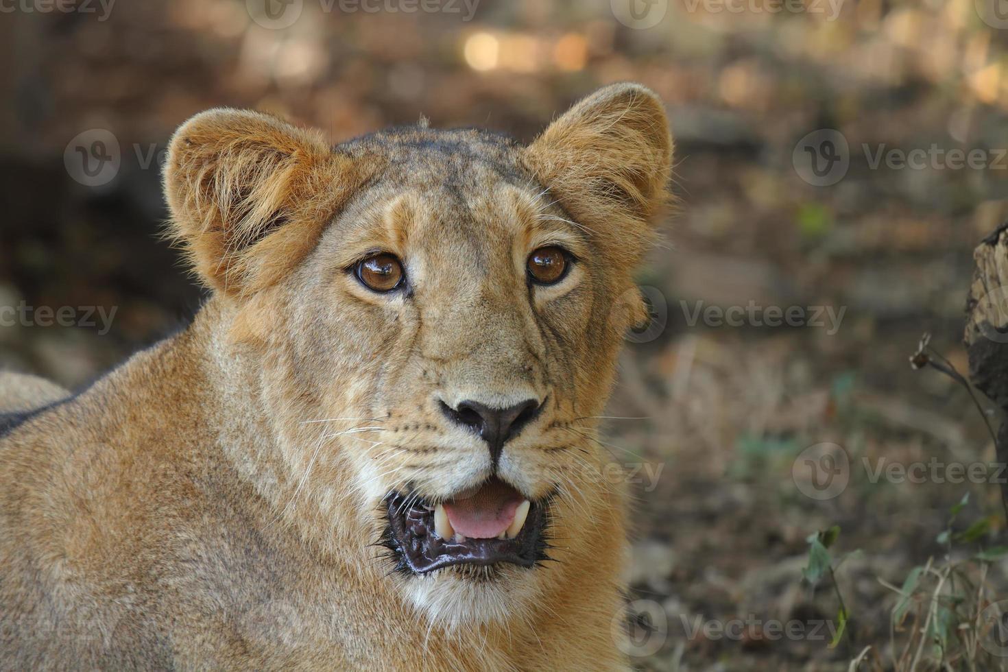 retrato de leoa asiática foto