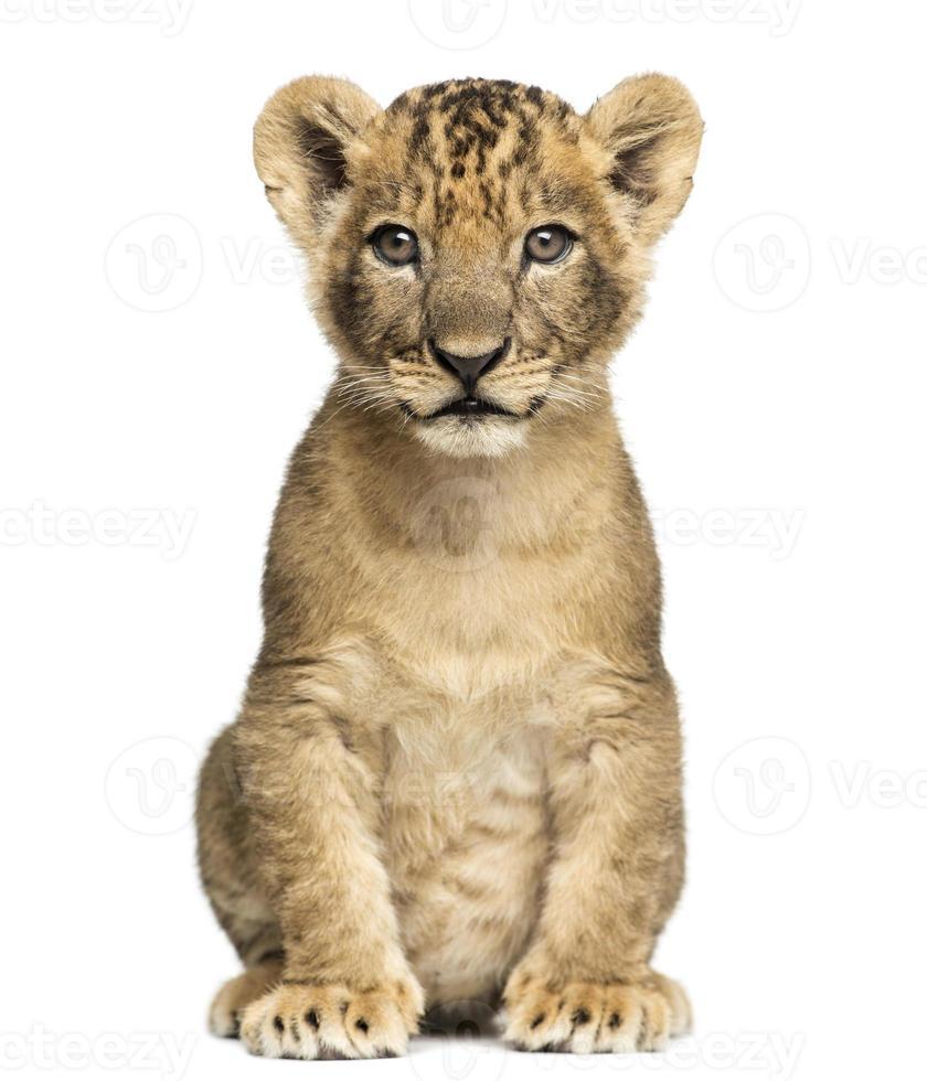 7 semanas de idade filhote de leão sentado e olhando para a câmera foto
