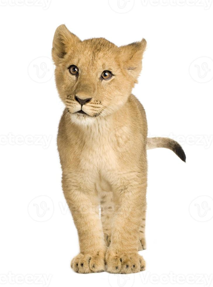 filhote de leão (5 meses) foto