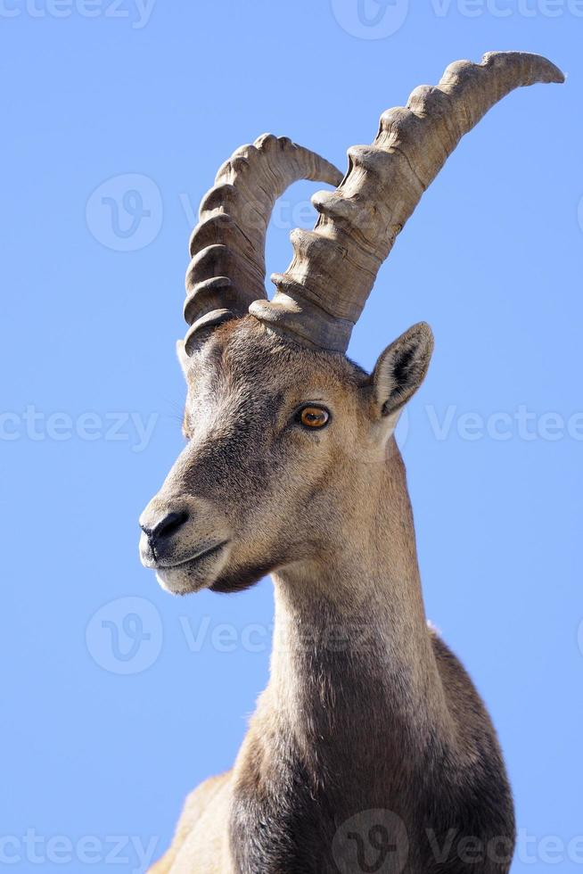 steinbock - ibex alpino foto