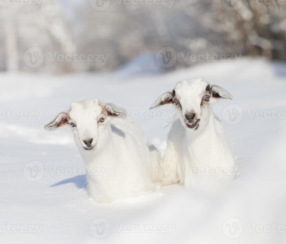 cabras de bebê no inverno foto