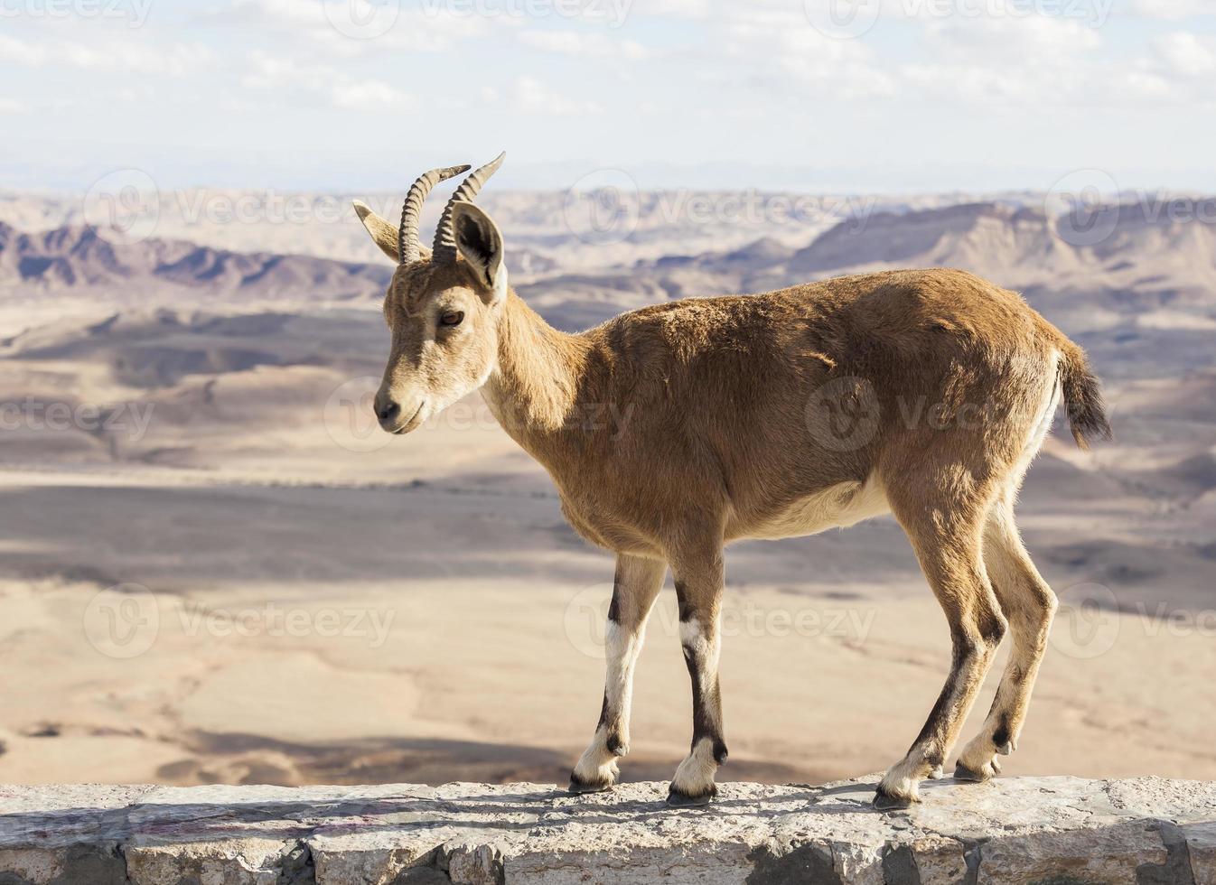 íbex núbio (capra nubiana). cratera de ramon. deserto do negev. Israel foto