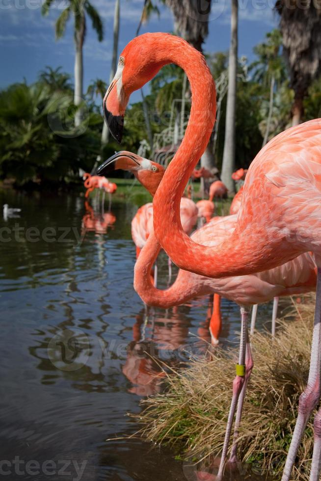 perfil de flamingos americanos na lagoa foto