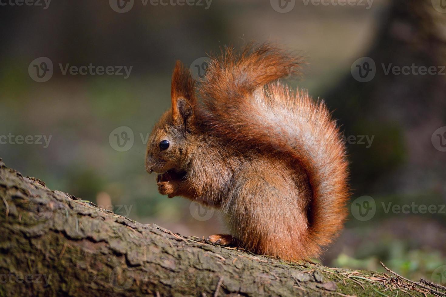 pequeno esquilo vermelho foto