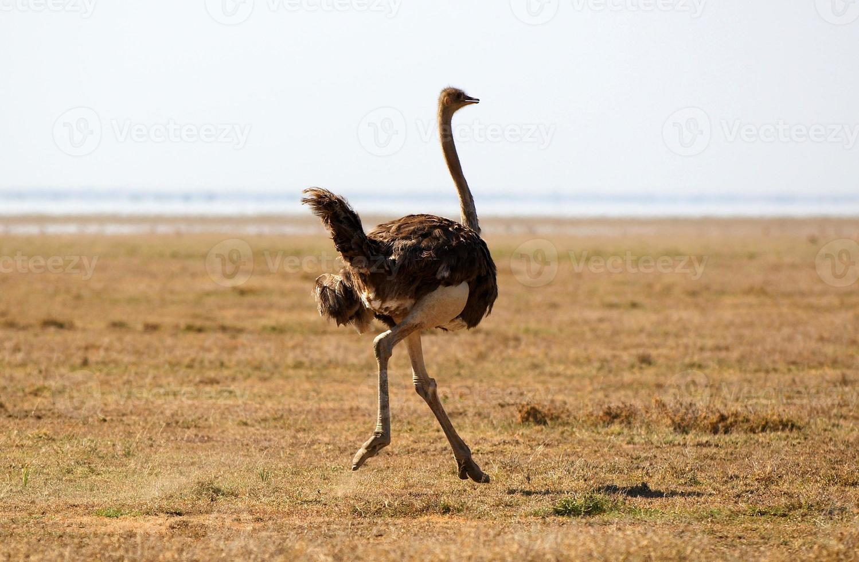 avestruz africano foto