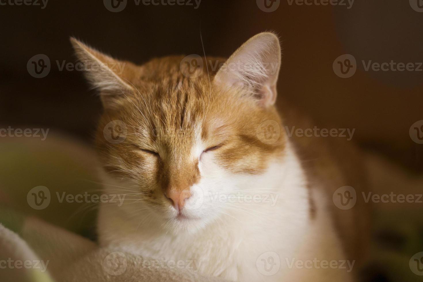 gato com sono ruivo, gato adormecido, cara de gato, sono foto