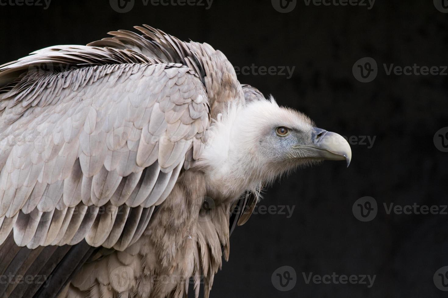 abutre-grifo foto