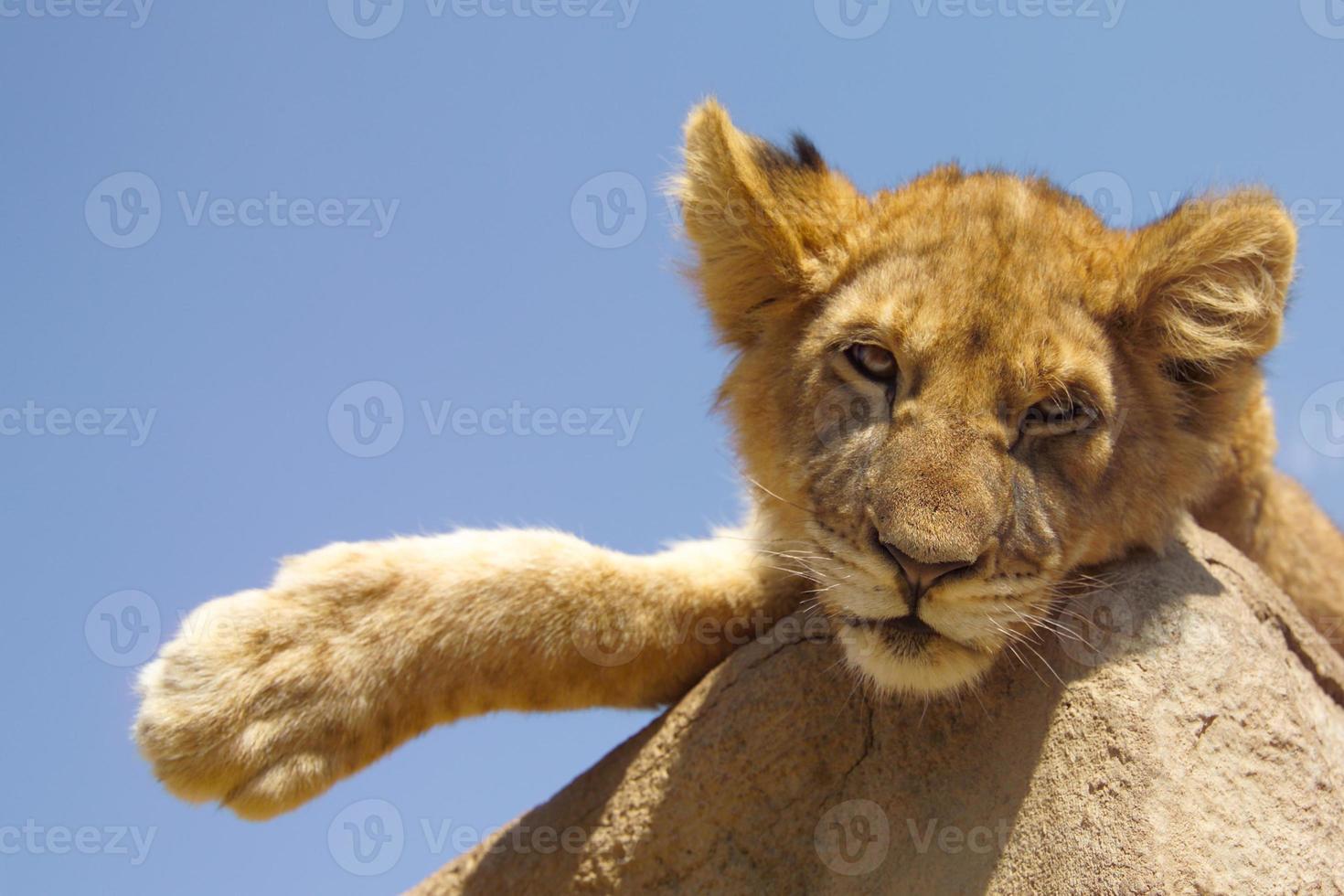 filhote de leão preguiçoso foto